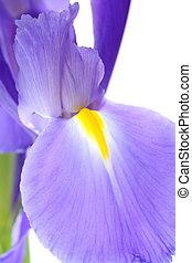 Closeup of purple iris - Closeup of beautiful purple iris on...