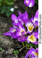 Autumn crocus. Flower. - The flower of an autumn crocus...