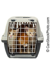 Kittens in transport box isolated on white background -...