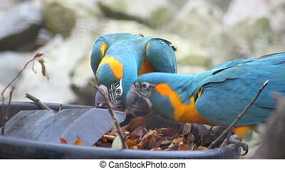 Blue and Yellow Macaw Playing - Two Beautiful Parrots (Blue...