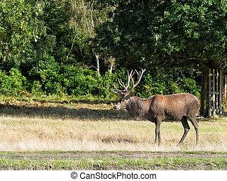 Red deer stag, standing. Cervus elaphus - Muddy, Has clearly...