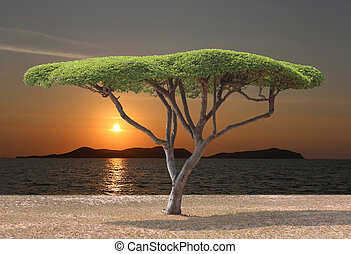 Tropical tree of mushroom shaped near the sea in sunset.