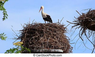 White Stork on the Nest