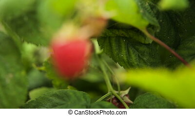 Close up of ripe raspberry. - Close up view of a ripe red...