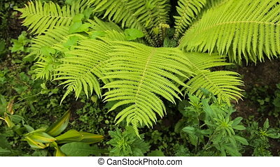 Green ferns in the forest. - Beautiful ferns leaves green...