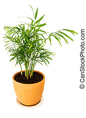 Chrysalidocarpus lutescens palm tree in a pot isolated on...