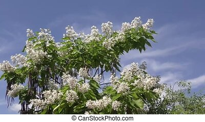 Catalpa bloom in the summer - Catalpa flowers in hot and...