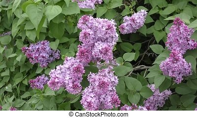 Spring flowers lilac - Flowers lilac blossomed in the Spring...