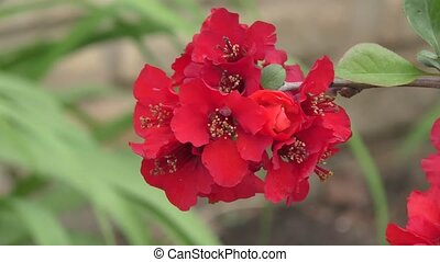 Japanese Quince flowers in spring morning