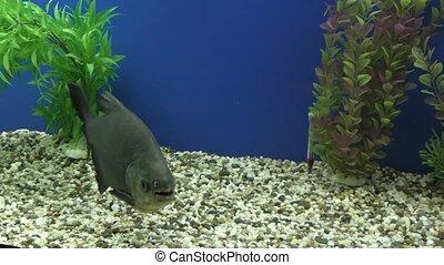 Exotische Fische im Aquarium. - Exotic fish swim in the...