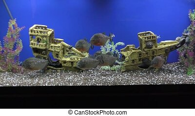 Piranhas in Aquarium - Piranhas swim in an aquarium