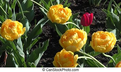 Yellow tulips and morning dew spring