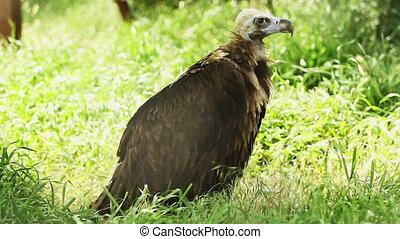 vulture on green grass - vulture on stay green grass