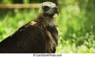 head vulture on green grass - vulture on stay green grass