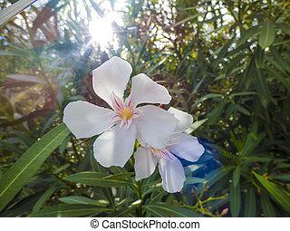 White Nerium Oleander