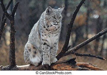 Canadian Lynx Sitting on a Fallen Tree - Canadian lynx...