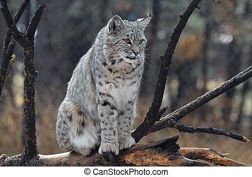 Canadian Lynx Sitting on a Fallen Tree - Canadian lynx...