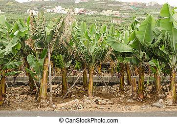 Banana plantation in La Palma island.