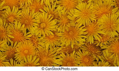 rotating blossoms - rotating background of dandelion...