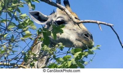 Detailed portrait of eating giraffe - Detailed portrait of...