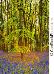 Sunshine streams through beech trees in bluebell woods of...