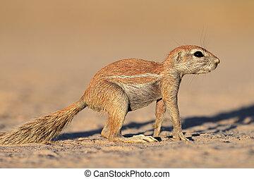 Alert ground squirrel - An alert ground squirrel (Xerus...