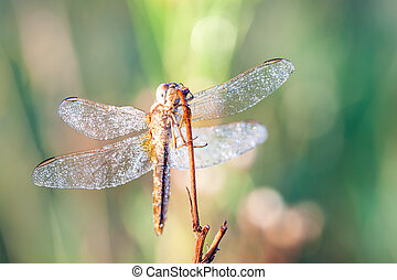 dragonfly in close up - on an early morning there dragonfly...