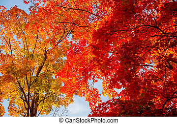 Autumn maple trees with red leaves