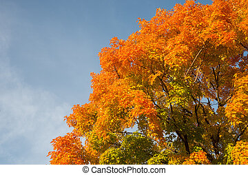 Autumn maple trees with red leaves against blue sky in...
