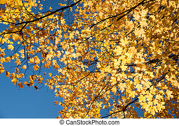 Autumn maple trees with yellow leaves against blue sky in...