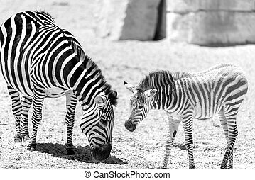Protective Zebra Mother And Calf In African Savanna