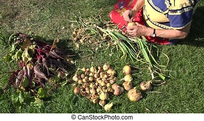 Senior garden worker hands process fresh onion heads for...