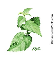 Watercolor mint branch. Hand painted realistic illustration....