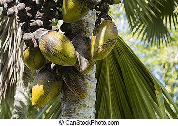 Coco de Mer, Mahe, Seychelles - The famous Coco de Mer...