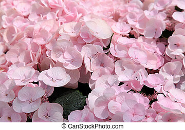 pink hortensia flower closeup, natural background, selective...