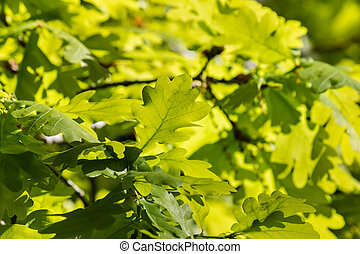 backlit oak tree leaves in spring - closeup of backlit oak...