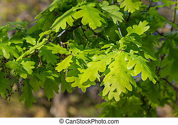young oak leaves background
