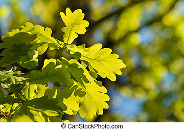 isolated oak leaves in springtime - closeup of isolated oak...