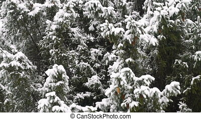 High spruce covered snow