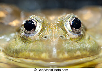 large frog portrait