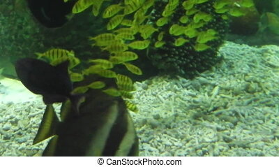 Scalare parental care - parental care of Angelfish...