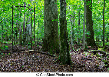 Primeval deciduous stand of natural stand in summertime -...