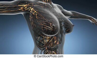 loop science anatomy scan of woman limphatic system glowing...