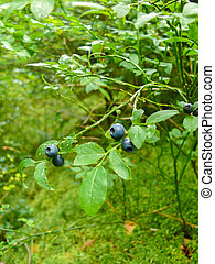 Bush of a ripe wild bilberry, blueberry in the summer...