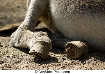 part of a lazy grey Donkey lying on the ground