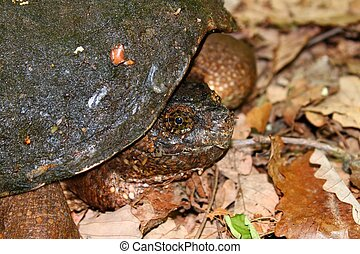 Snapping Turtle-Chelydra serpentina - A Snapping Turtle...