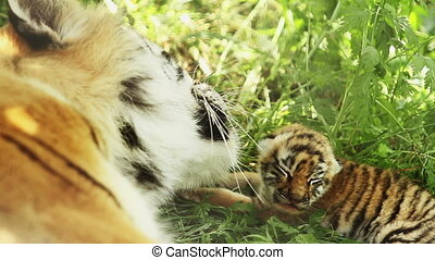 tigress and blind cub in shade