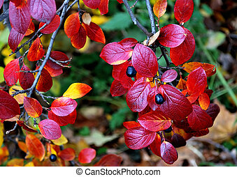 Shrub with red leaves - Autumnal shrub with red leaves and...