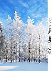White-white birches - Wonderful white birches in rime on the...