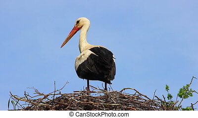 Closeup of White Stork in Nest - Close Up Of White Stork...